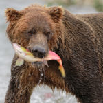 Brown bear with salmon, Katmai NP, Alaska